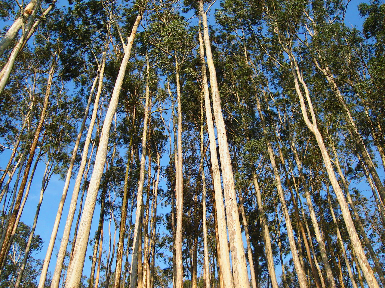 Eucalyptus sp