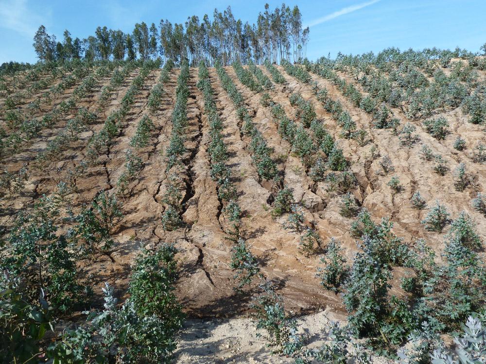 Erosão eucaliptal - Foto Quercus