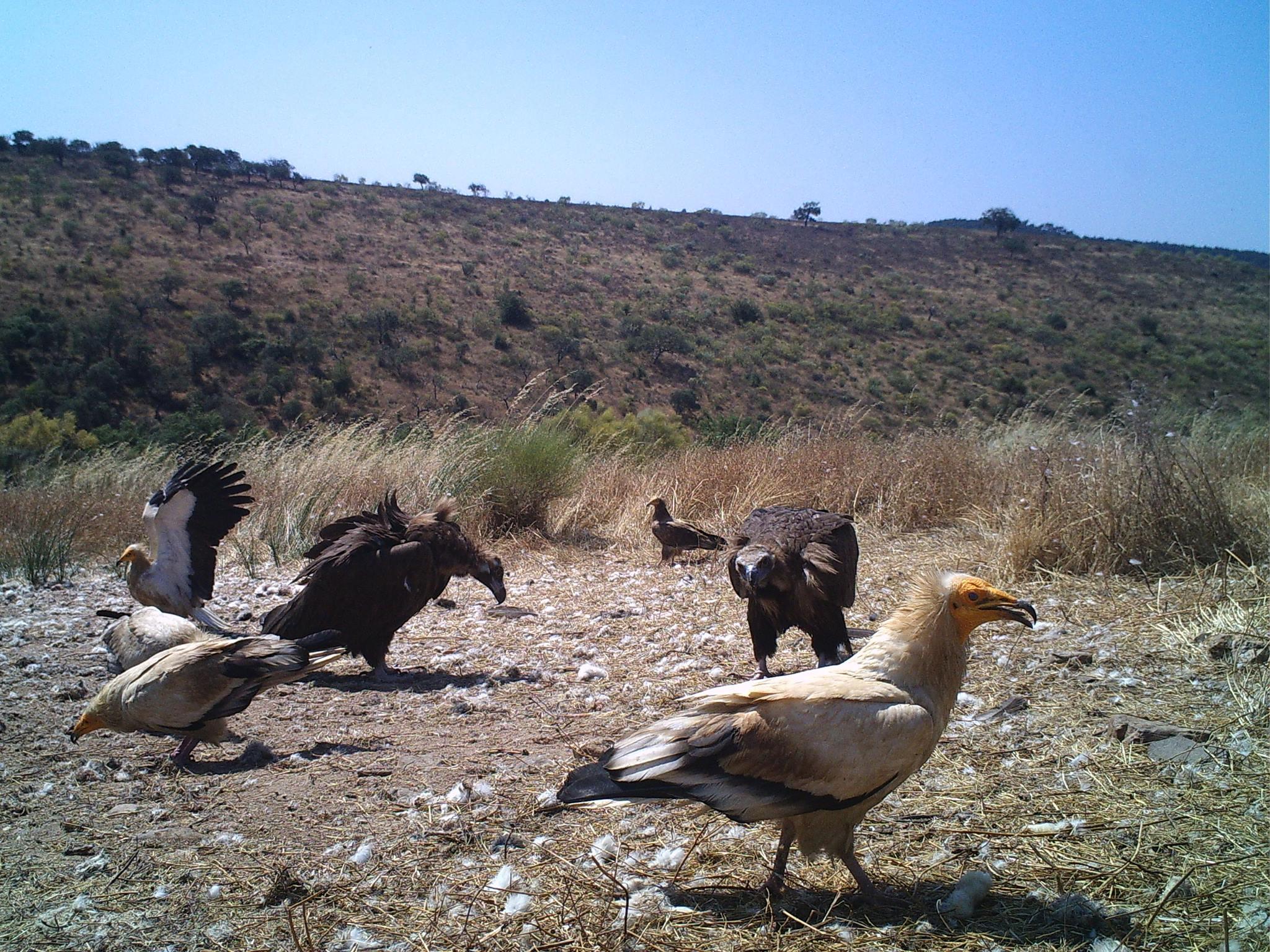 abutres no tejo internacional autor Quercus