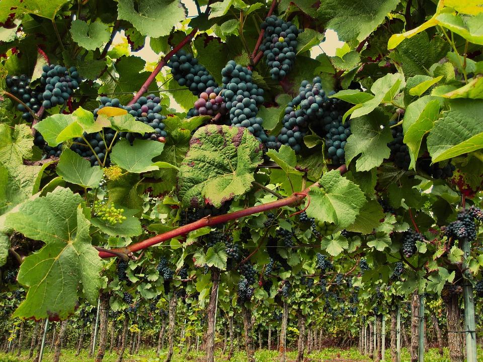 vines 2546056 960 720